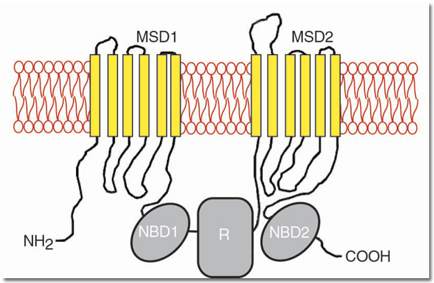 Cystic Fibrosis Mutation Database: CFTR Domains